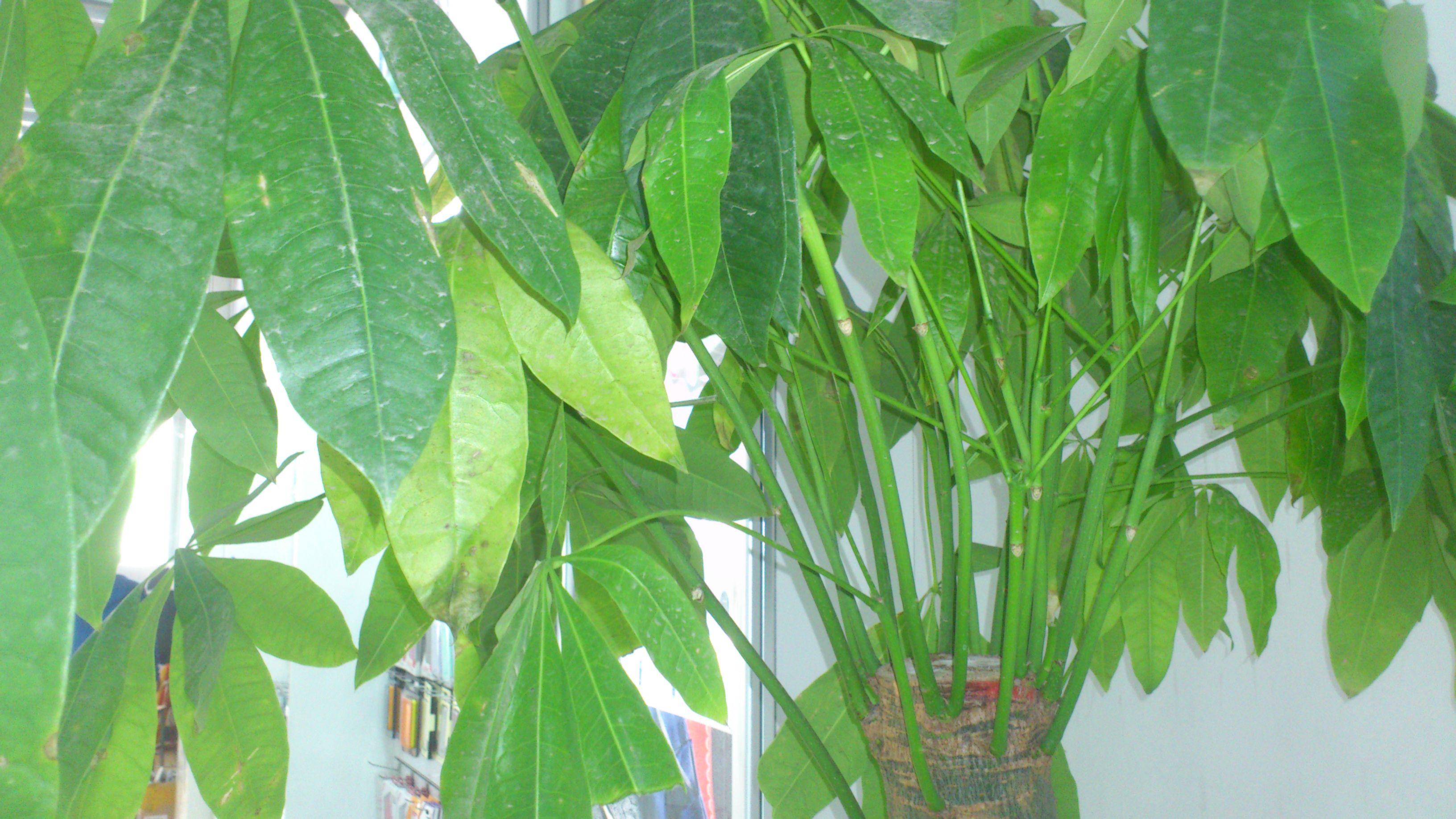 没有树会怎样_发财树的叶子发黄掉叶怎么办,浇水也不是很多,树干有点皱 ...