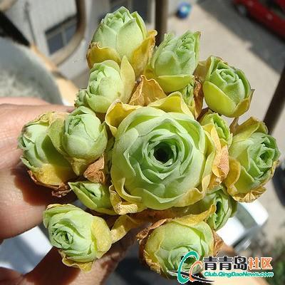 小球玫瑰的养殖方法