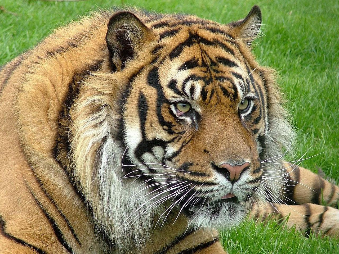 做梦梦到老虎和狮子_小老虎为什么见到狮子会难过?小兔子想出了一个什么好