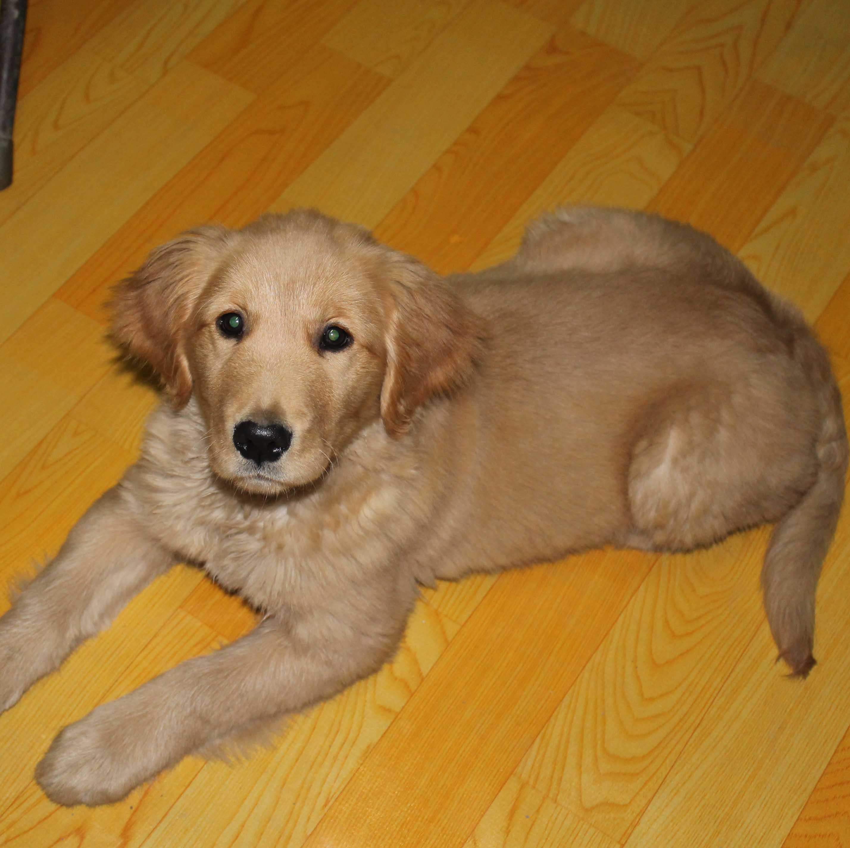 5个月金毛犬图片_我家的金毛5个月了,母的体重才25斤,本人第一次养金毛犬,请 ...
