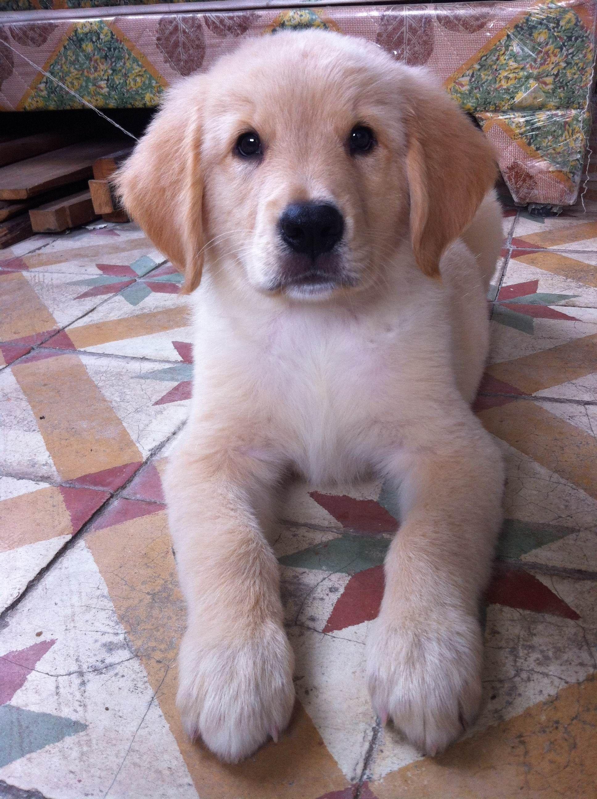 5个月金毛犬图片_五个月的金毛犬40斤正常么?_百度知道