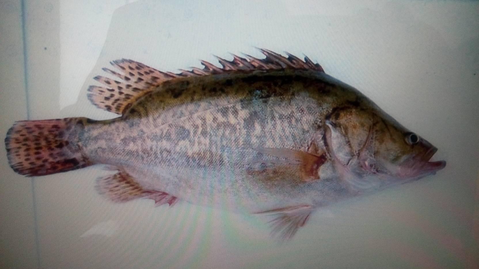 北京桂鱼多少钱一斤_这是什么鱼,多少钱一斤,野生的_百度知道