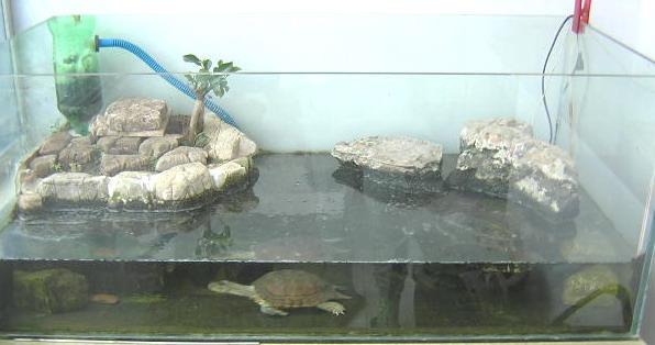 小乌龟浮在水面_龟缸怎样布景?养龟水位问题!_百度知道
