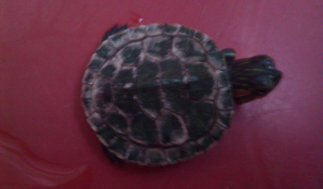小乌龟浮在水面_小乌龟壳发白,没精神,也不吃东西,怎么办啊??_百度知道
