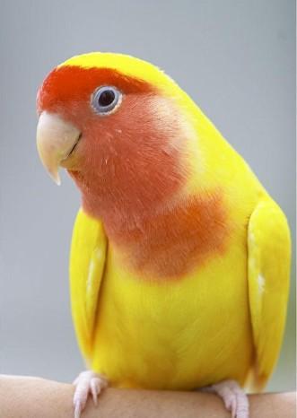 绿金丝牡丹鹦鹉_金丝、黄桃牡丹鹦鹉有什么不同的特点_百度知道