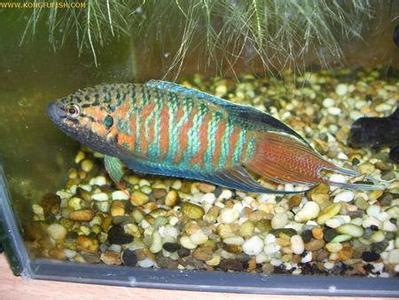 鱼缸如何养冷水鱼_冷水观赏鱼有哪些图片_百度知道