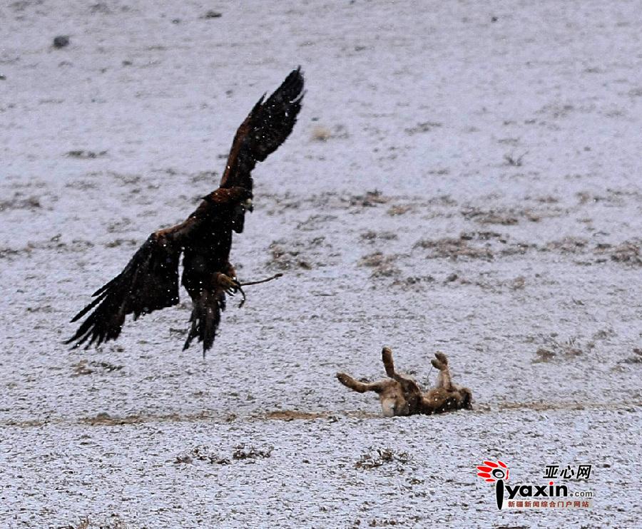 下夹子捕野兔秘绝图片_求一张兔子搏鹰的图片