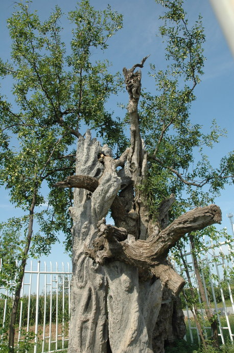世界最粗的树图片_世界上最古老的枣树在哪里?_百度知道