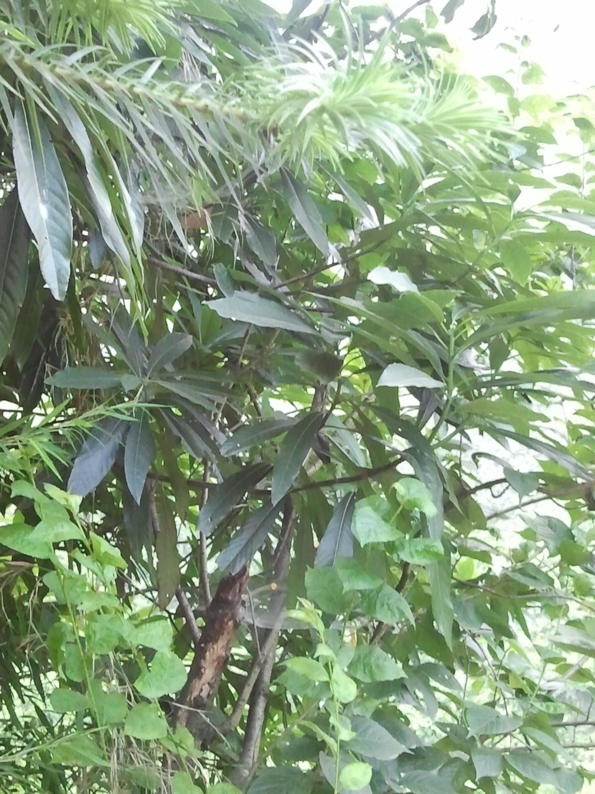 金丝楠木树高清图片_请问这是楠木树吗、价值高吗 、感谢各位高手_百度知道