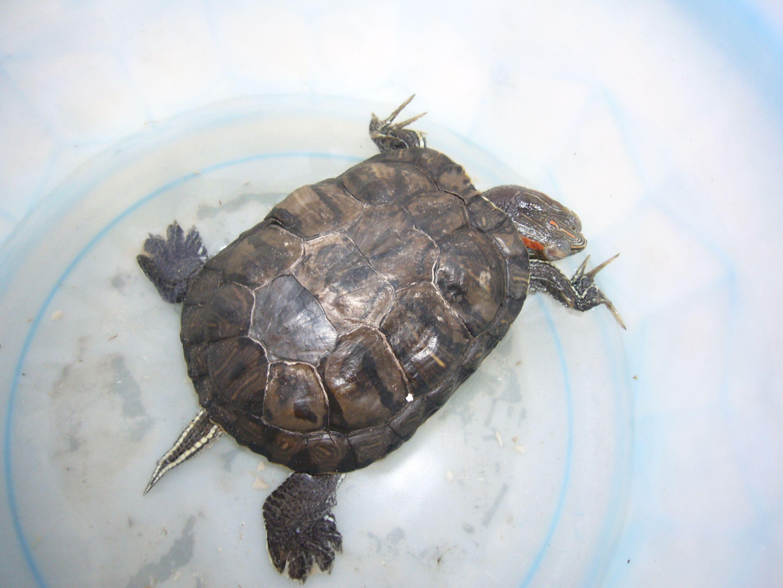 小乌龟冬眠了怎么办_我的乌龟生病了,养了17年了,冬眠之后就不吃东西了,怎么办 ...
