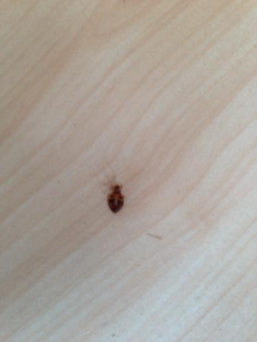 家里的木地板出現這種蟲子,怎么辦?這是什么蟲子圖片