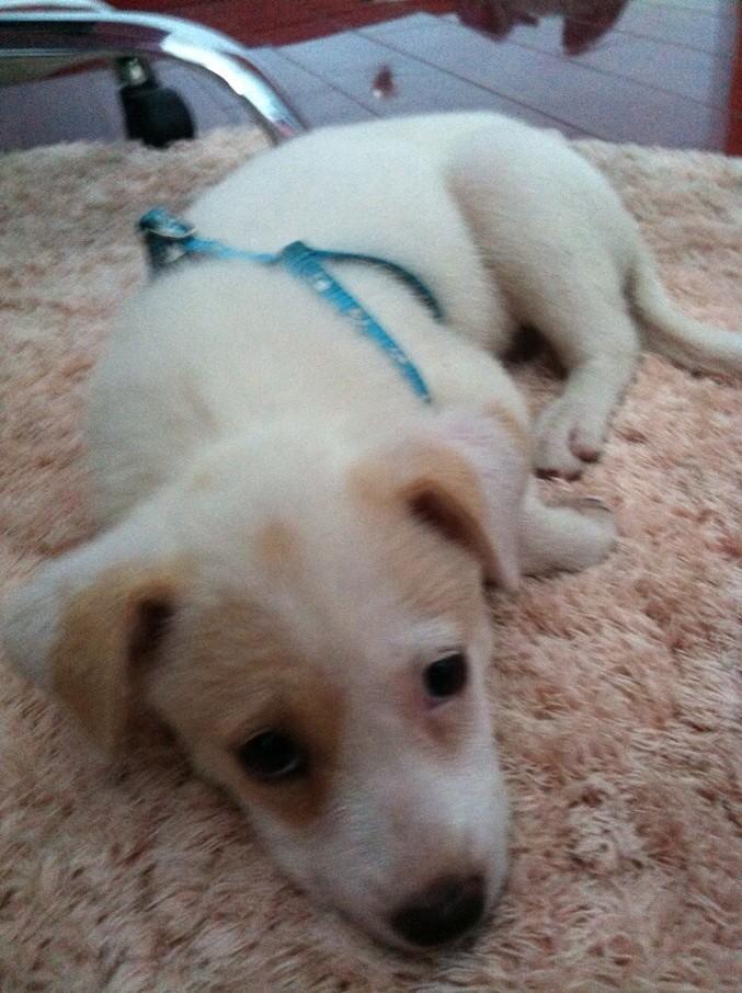 大的样子_我家养的小狗一个月大的样子不过有人说是拉布拉多有人说是