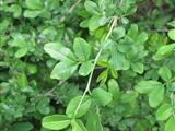 四片叶子的植物有哪些