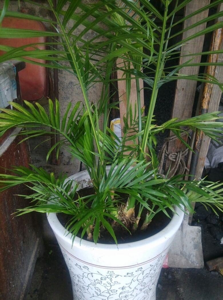 袖珍椰子图片_富贵竹 散尾葵 凤尾竹 还是袖珍椰子_百度知道