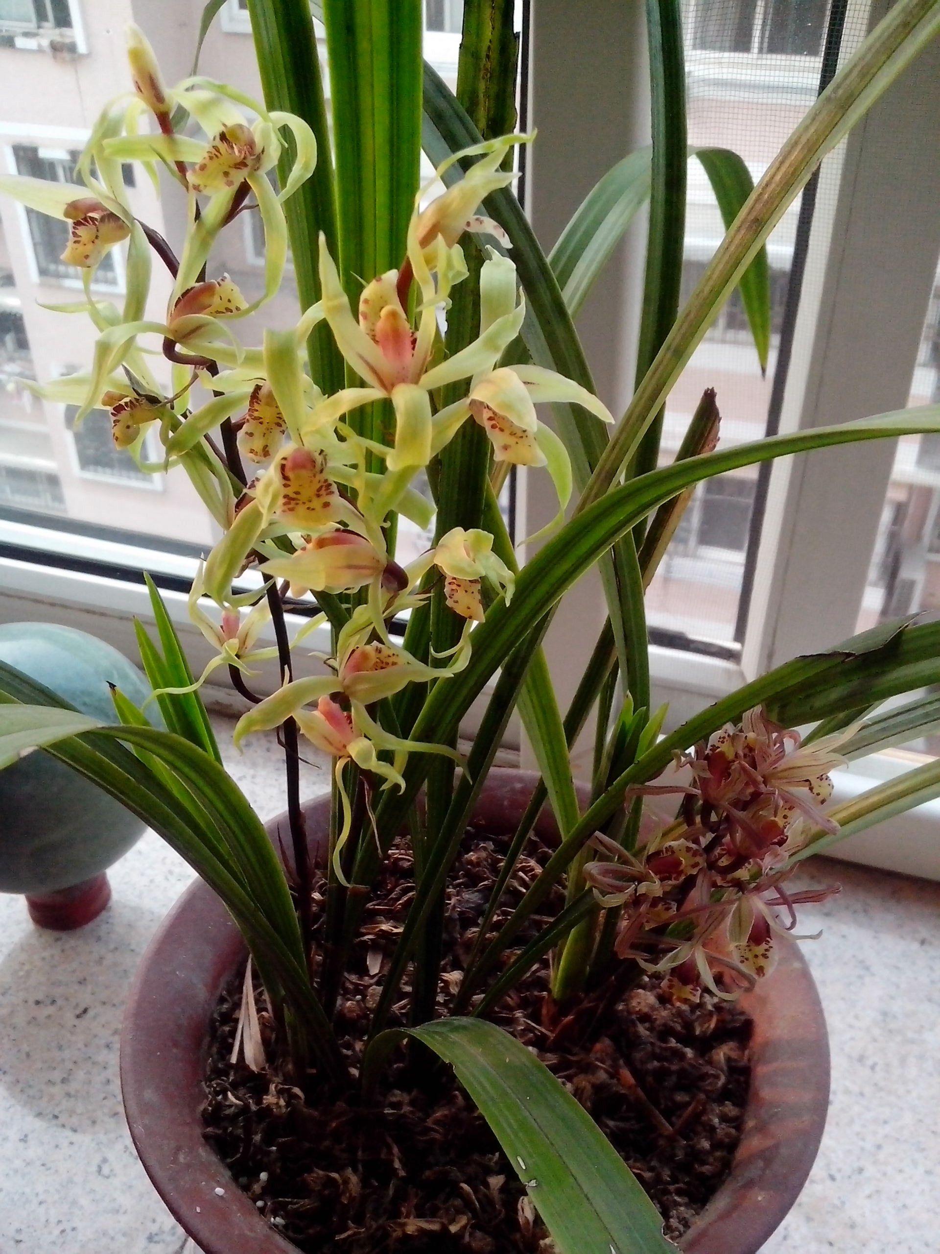 野生蘭花最貴的品種