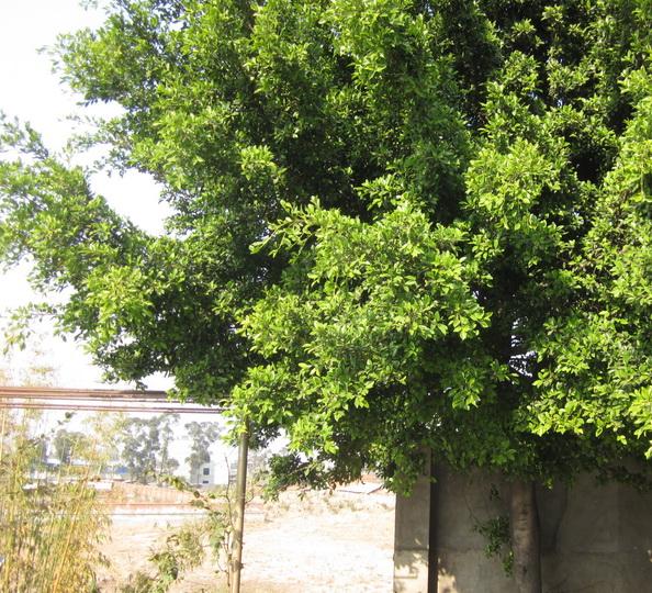 什么的树木_图中这种常见的树木究竟叫什么名字?_百度知道