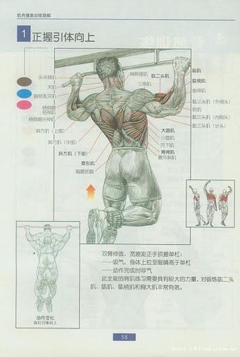 腿部肌肉示意图_请教拉好引体向上的方法_百度知道