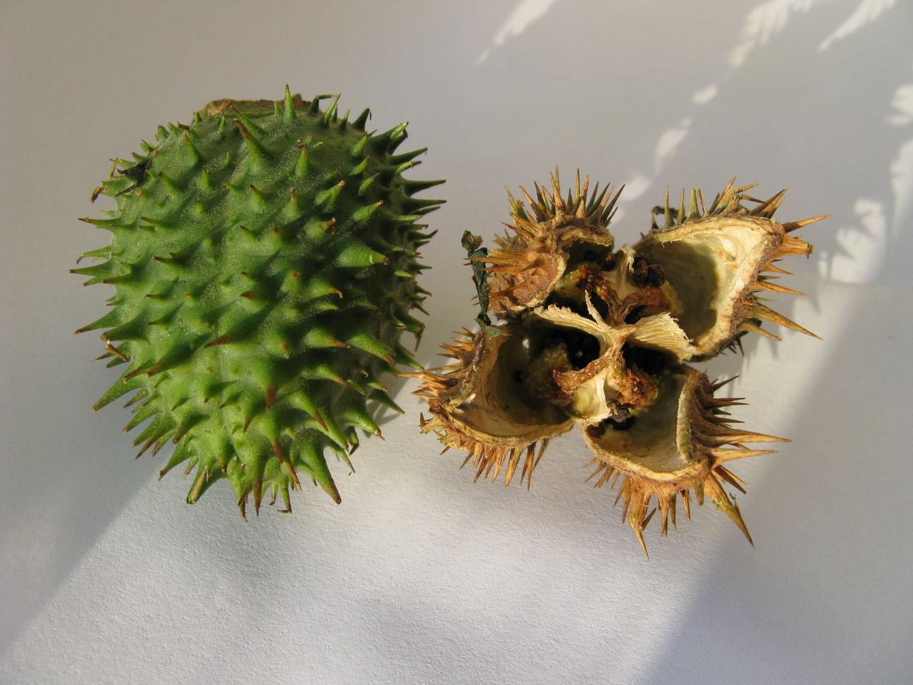 山上野果名称及图片_带刺果实的图片-果实带刺的植物,球状带刺果实,带刺的果实图片 ...