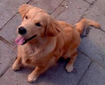 5个月金毛犬图片_请在这里概述您的问题大家给鉴定 家养的小母金毛犬5个月了 品 ...