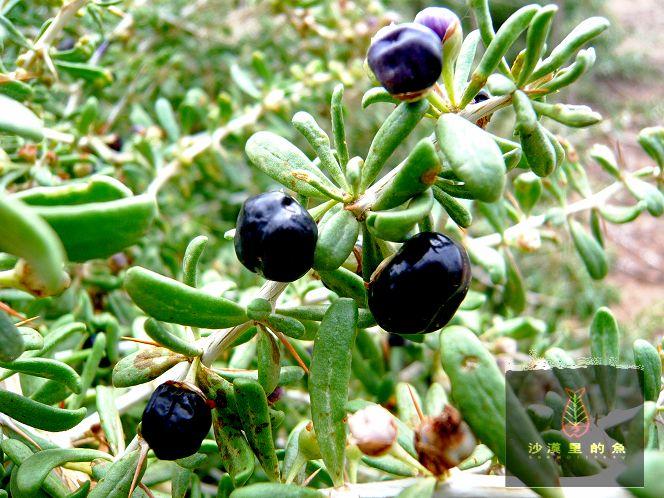 野生黑枸杞_野生,果实紫黑色,跟枸杞的花很像,是什么东西,是黑枸杞吗 ...