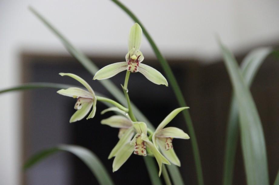 60厘米有多长_兰花品种鉴别及图片,有图不知品种_百度知道