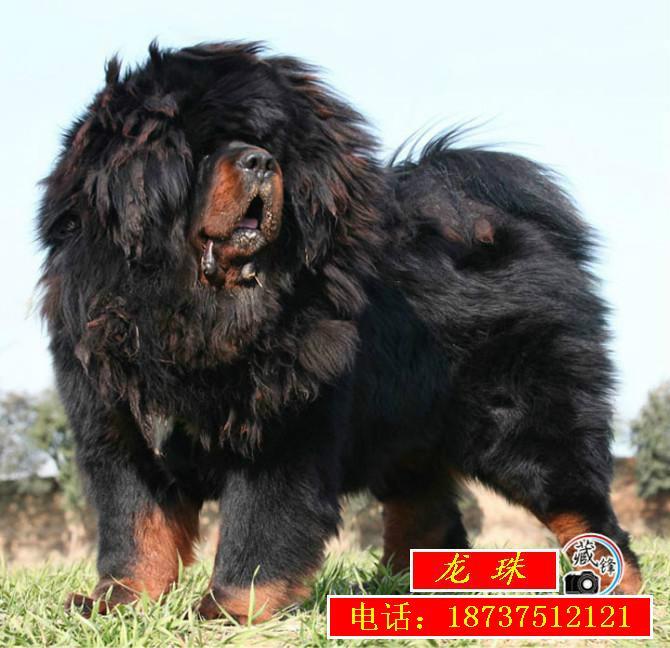 天价藏獒惊天兽_世界上最贵的藏獒_藏獒狗的图片_藏獒图片_藏獒吃主人
