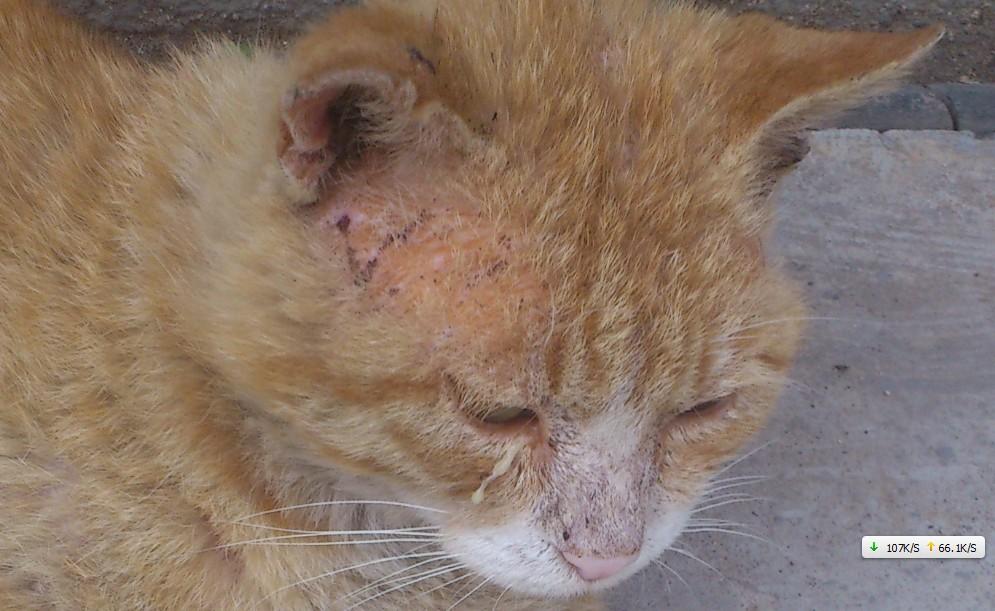 猫得螨虫的症状_请教专业人士。流浪猫 皮肤病 还是猫癣,还是螨虫什么的么 ...