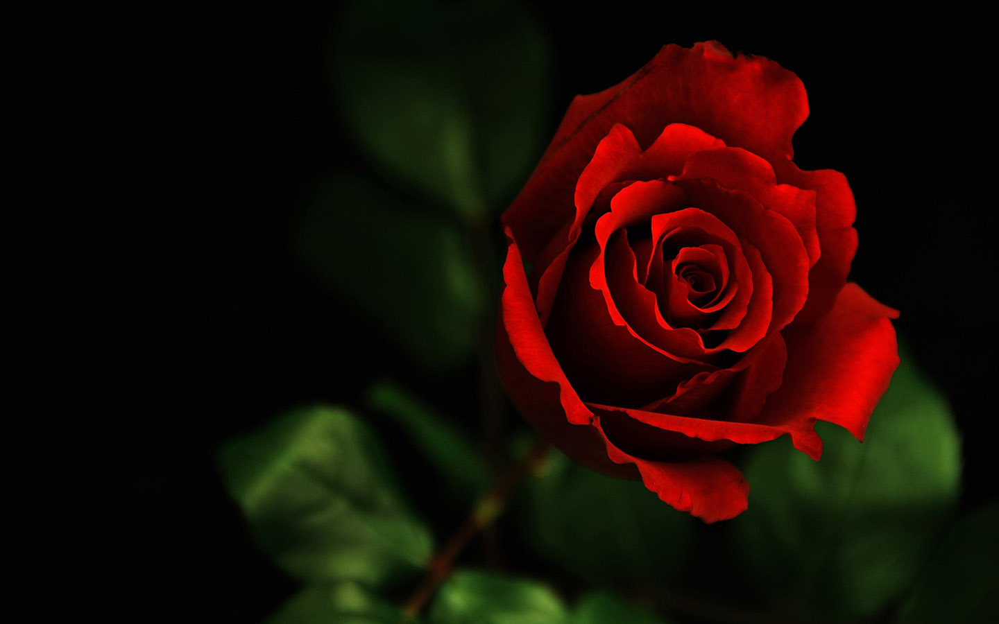 - Boy with rose wallpaper ...