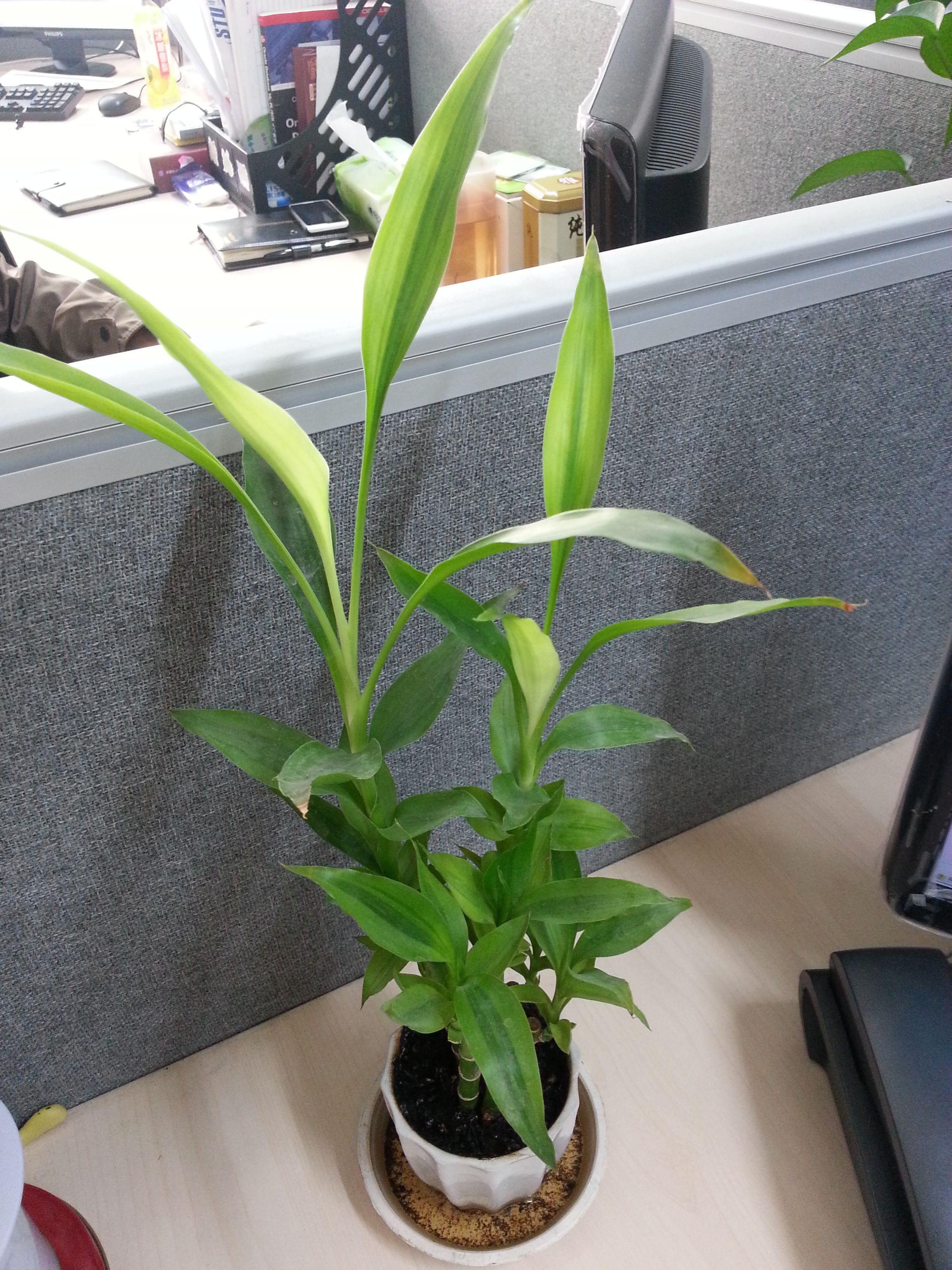 富贵竹的样子_富贵竹的叶子与茎变黄了,怎么办_百度知道