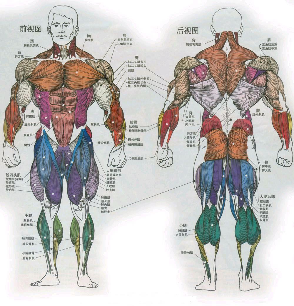 背部肌肉分布_人体肌肉图是啥呢_百度知道