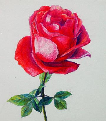 彩铅花_好看的花卉彩铅画_好看的花卉彩铅画分享展示