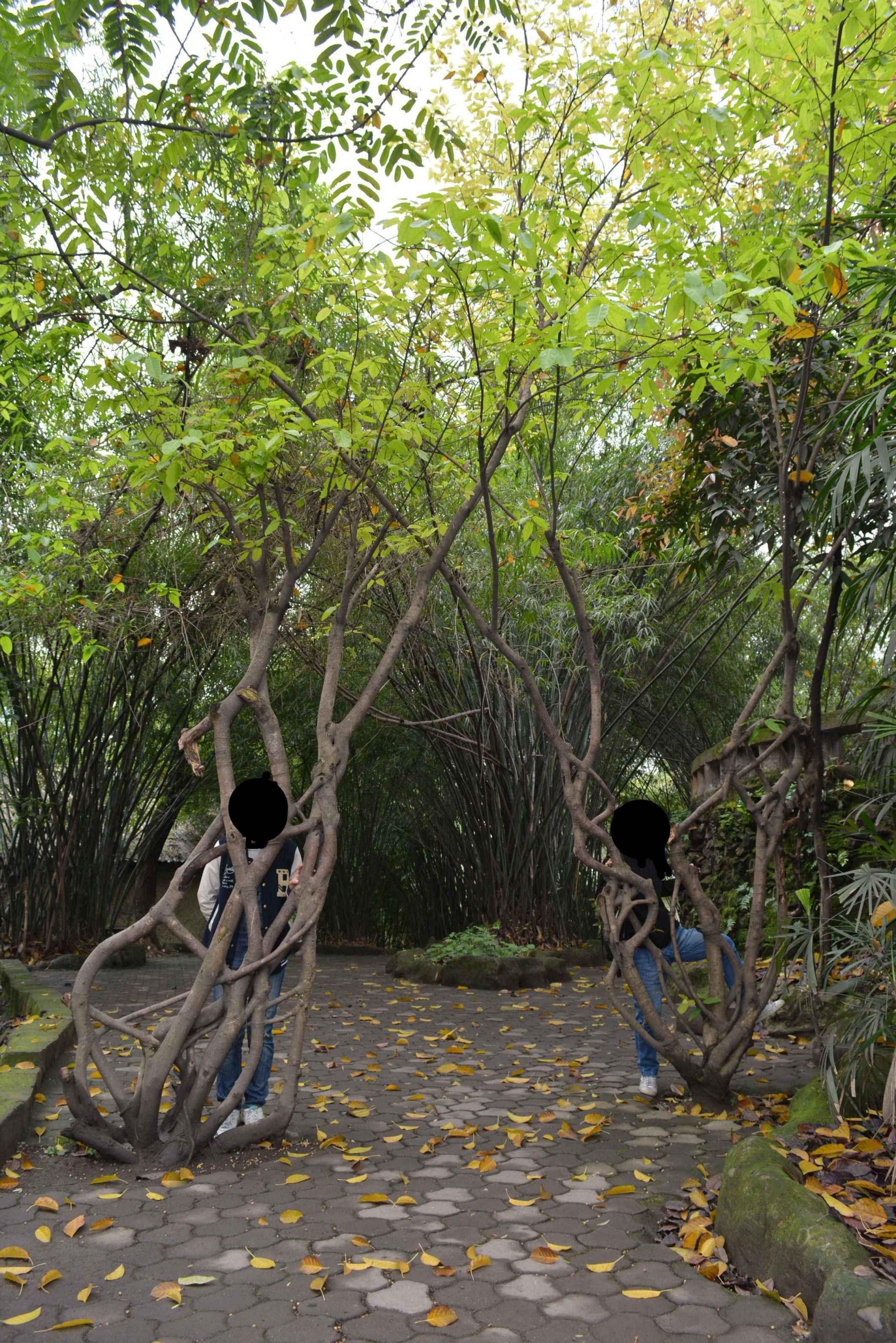 什么的树木_这是什么树?图中那两人所在的那个。。。是什么树木_百度知道