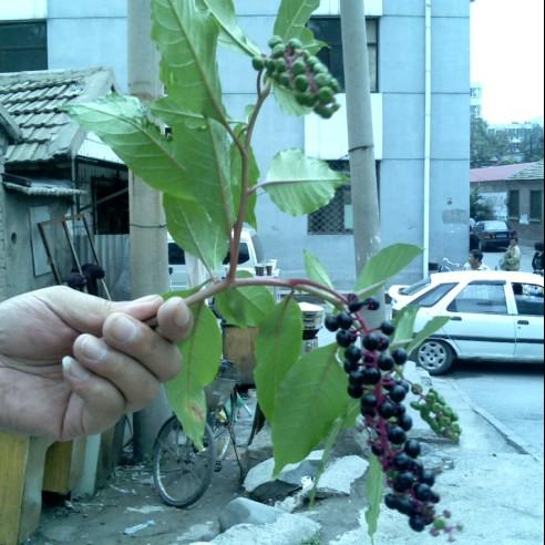 假西洋参图片_请高手帮忙鉴定,这是哪一种人参的叶子和籽??_百度知道