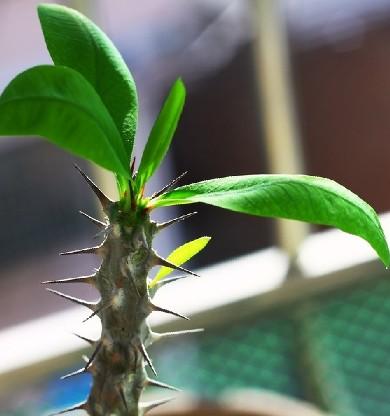 大叶刺梅的养殖方法_这个是什么植物_百度知道
