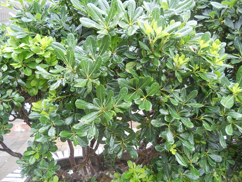什么的树木_校园里的树木名称: 这是什么树?_百度知道