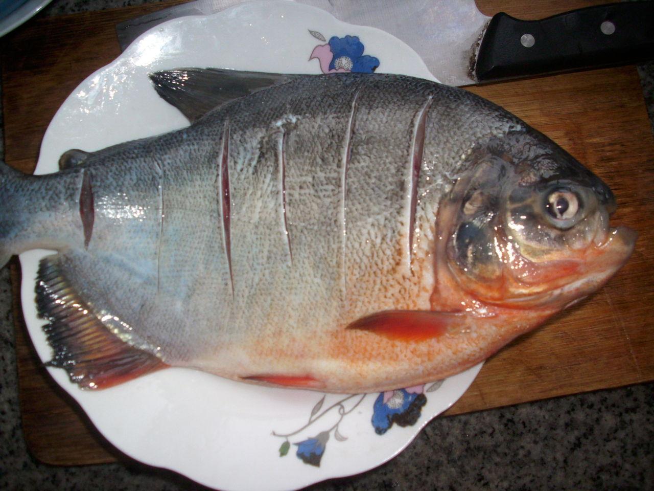 淡水白鲳_这是什么鱼?武昌鱼?有图片_百度知道