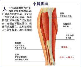 人体肌肉分布图_人的小腿肌肉分布图_百度知道