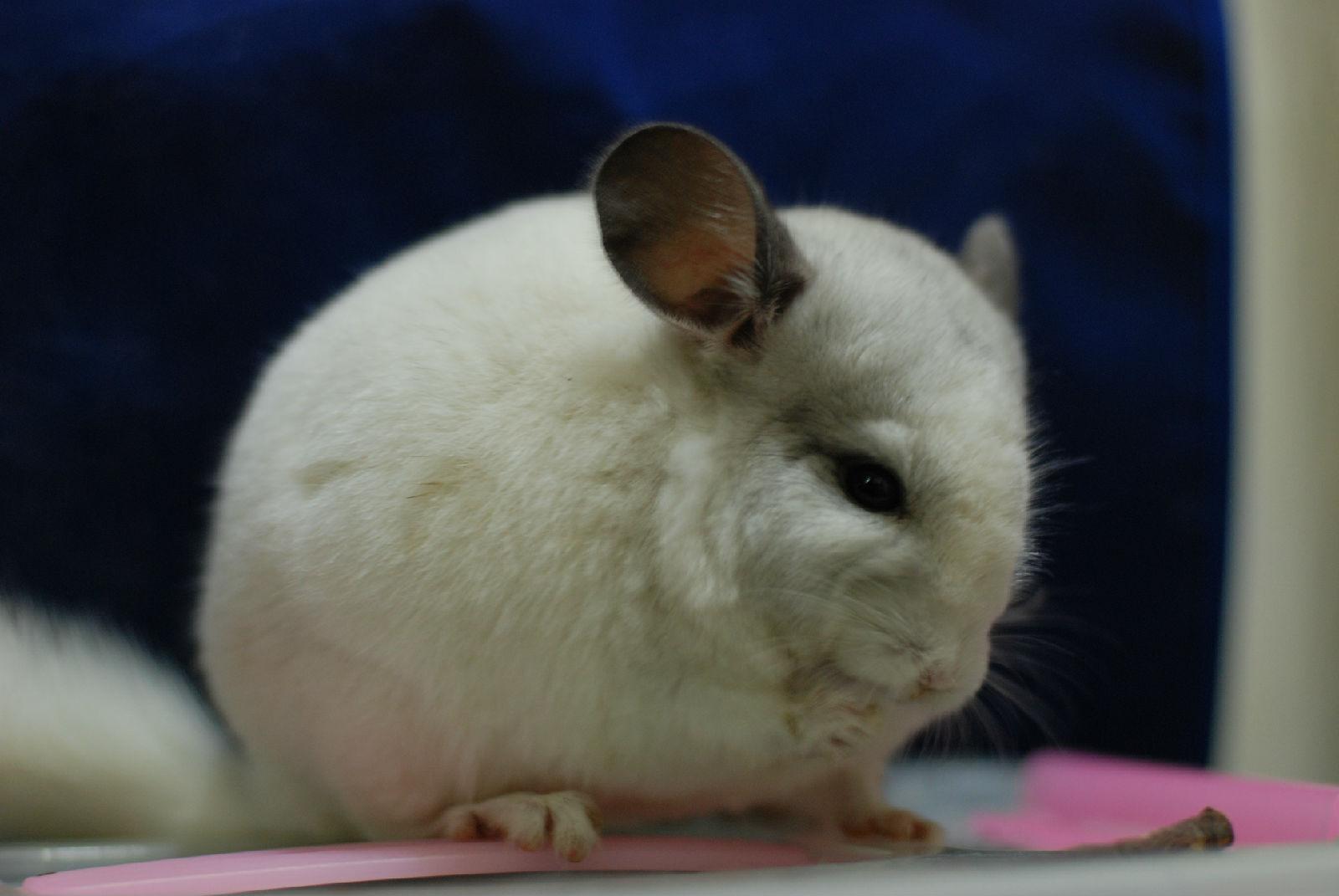 长尾巴的兔子_这是什么动物_百度知道