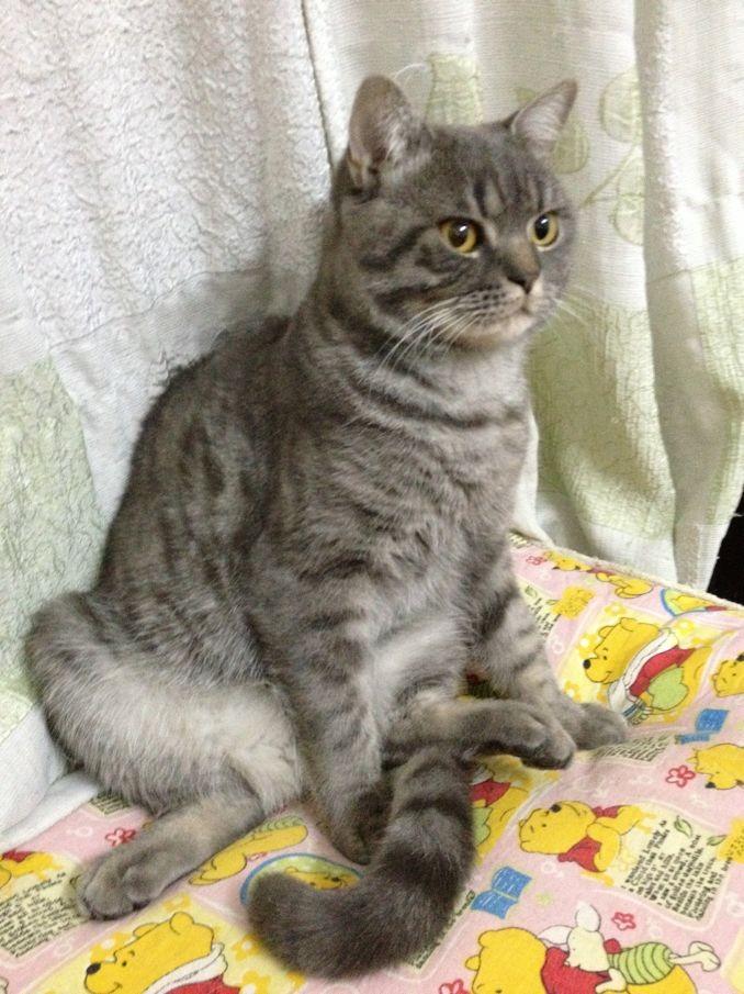 小色狗和猫交配_美短公猫和母猫的区别-美短公猫好还是母猫好_公猫和母猫怎么