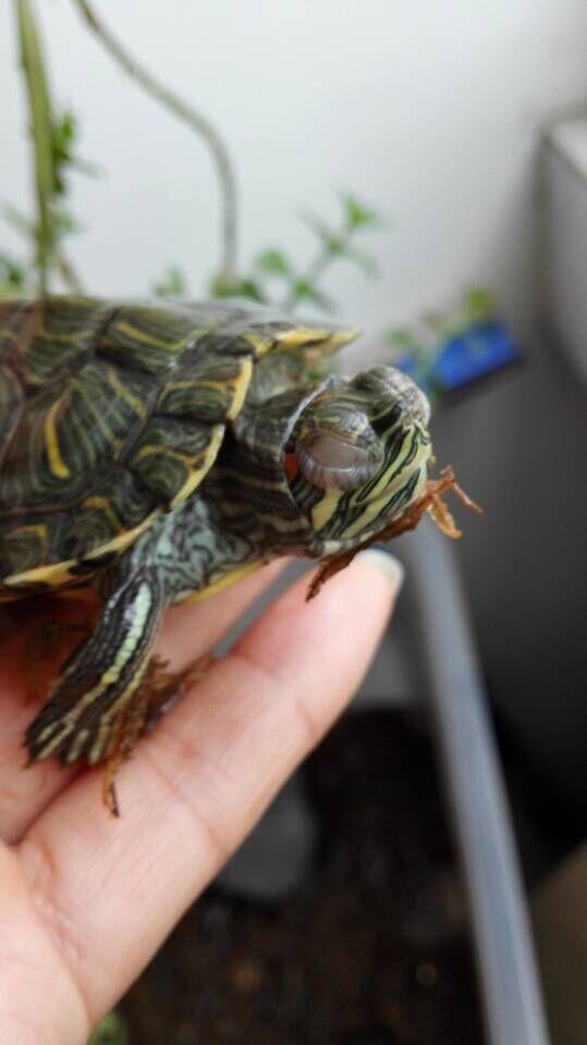 小乌龟冬眠了怎么办_冬眠醒来的小乌龟不睁眼怎么办?∩_百度知道