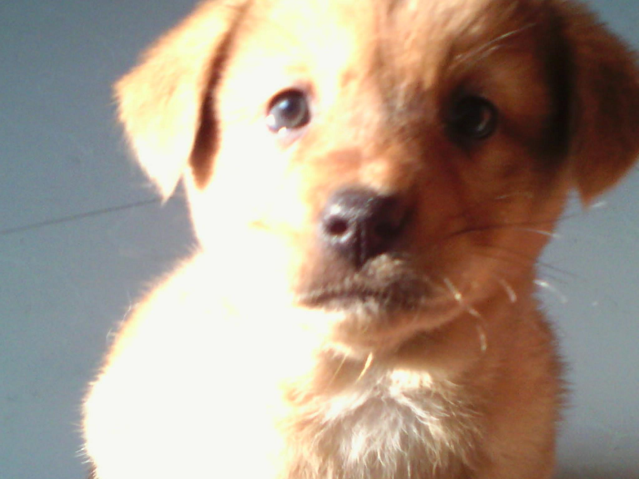 欧美亲子乱伦囹�a_这狗狗是什么品种?身子黄耳朵和脸是黑色耳朵也黑