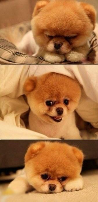 英式博美犬图片_跪求这是谁的小狗。想买_百度知道