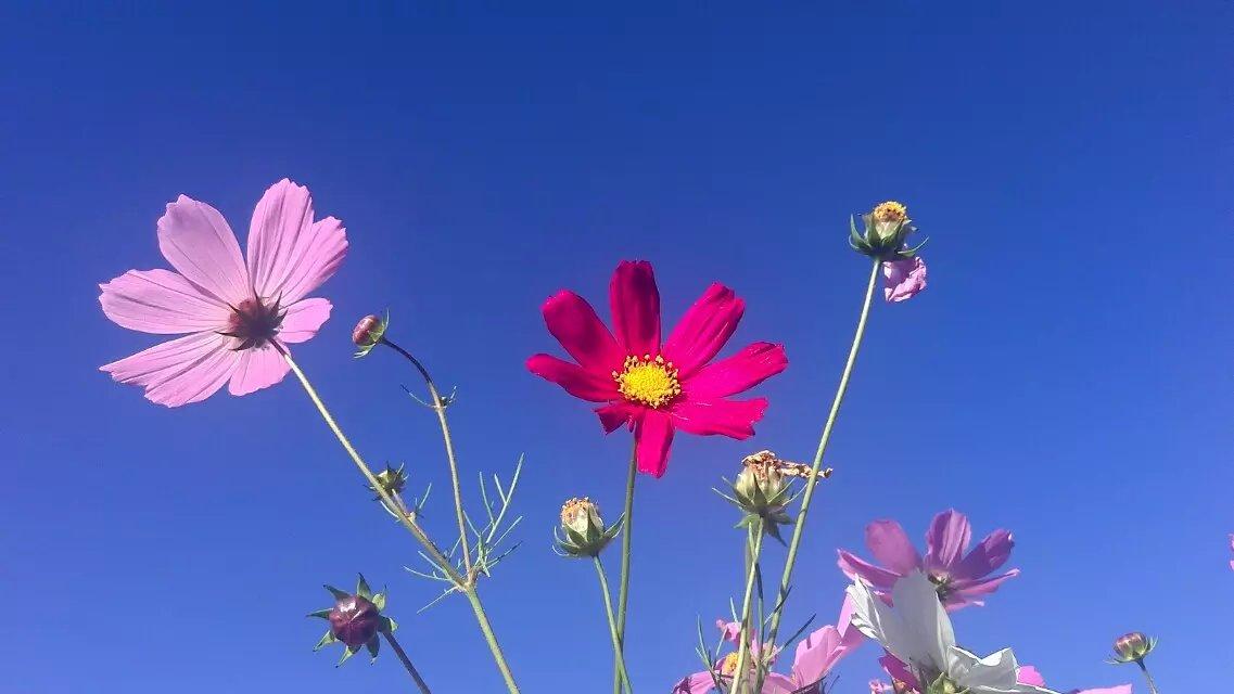格桑花种子_求拉萨格桑花的种子