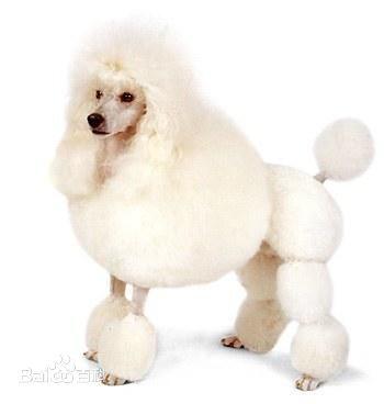 长脸狗_脸较尖,耳朵聋拉,毛很长,白色的狗_百度知道