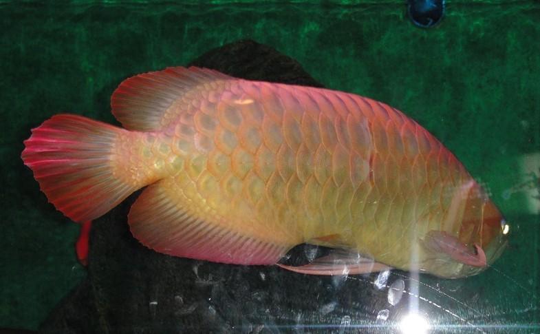 金龙鱼多少钱一条_这条是金龙鱼吗?值多少钱?_百度知道