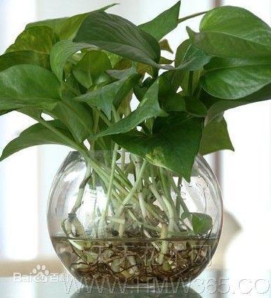 富贵竹可以土养吗_谁知道宽叶水种植物的图片_百度知道
