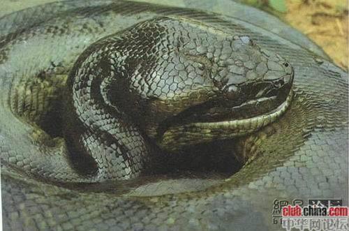 世界上最大五头蛇_世界上最大的蛇有多大? 最好带图_百度知道