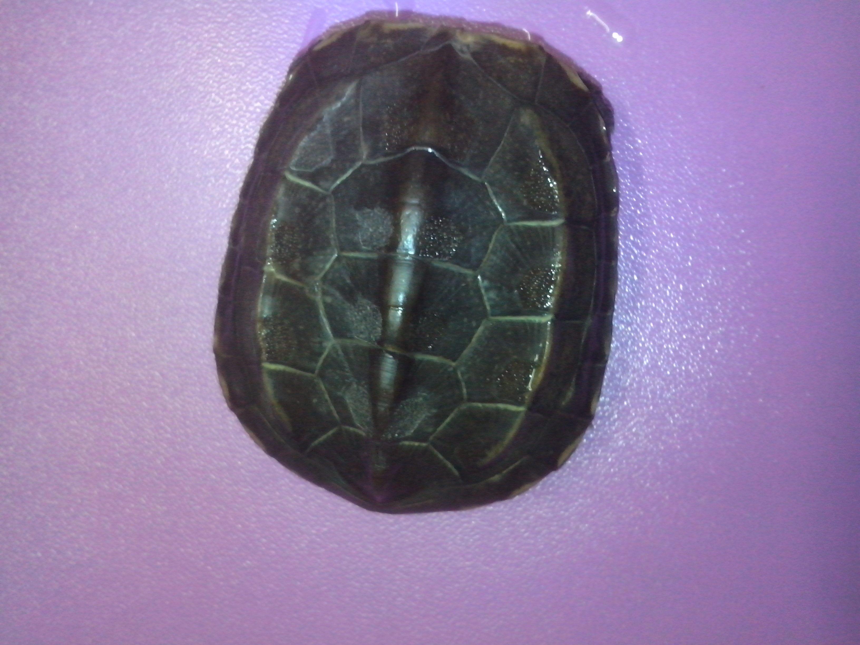 招财龟_龟友帮帮看看这是什么龟,路边买的说是招财龟,但是跟网上 ...