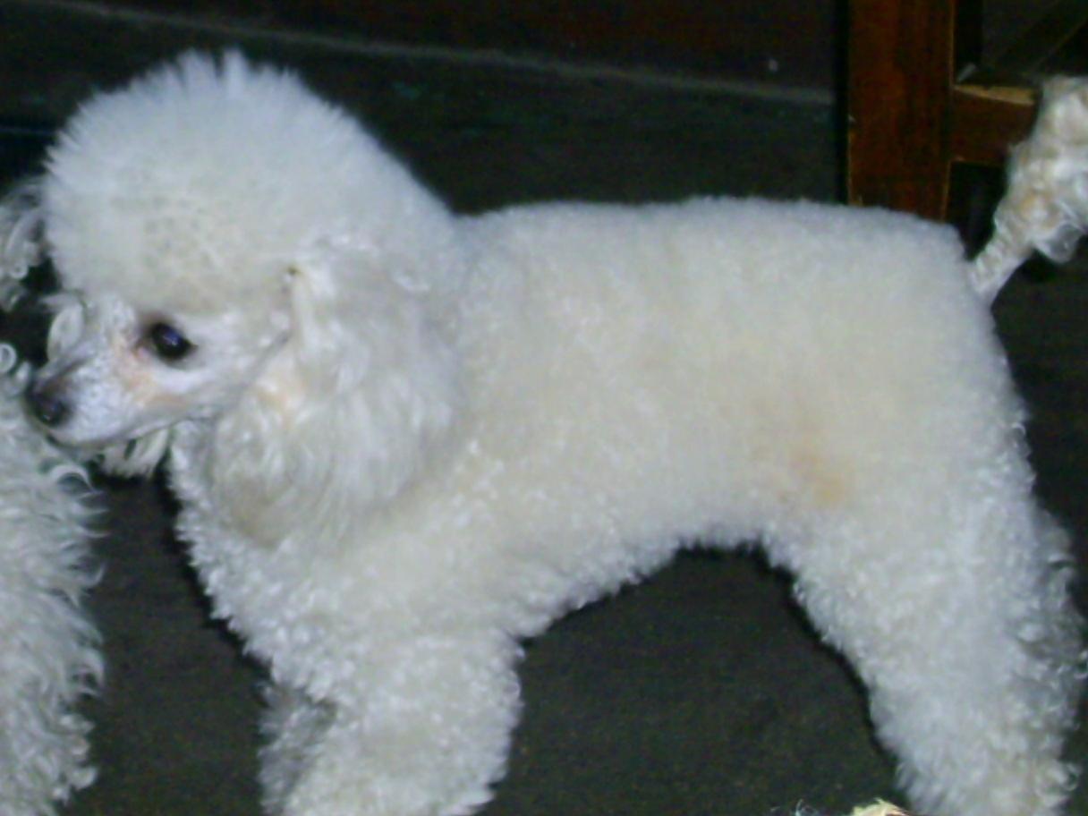 白色巨型贵宾犬价格_白色贵宾犬图片【图片 价格 包邮 视频】_淘宝助理