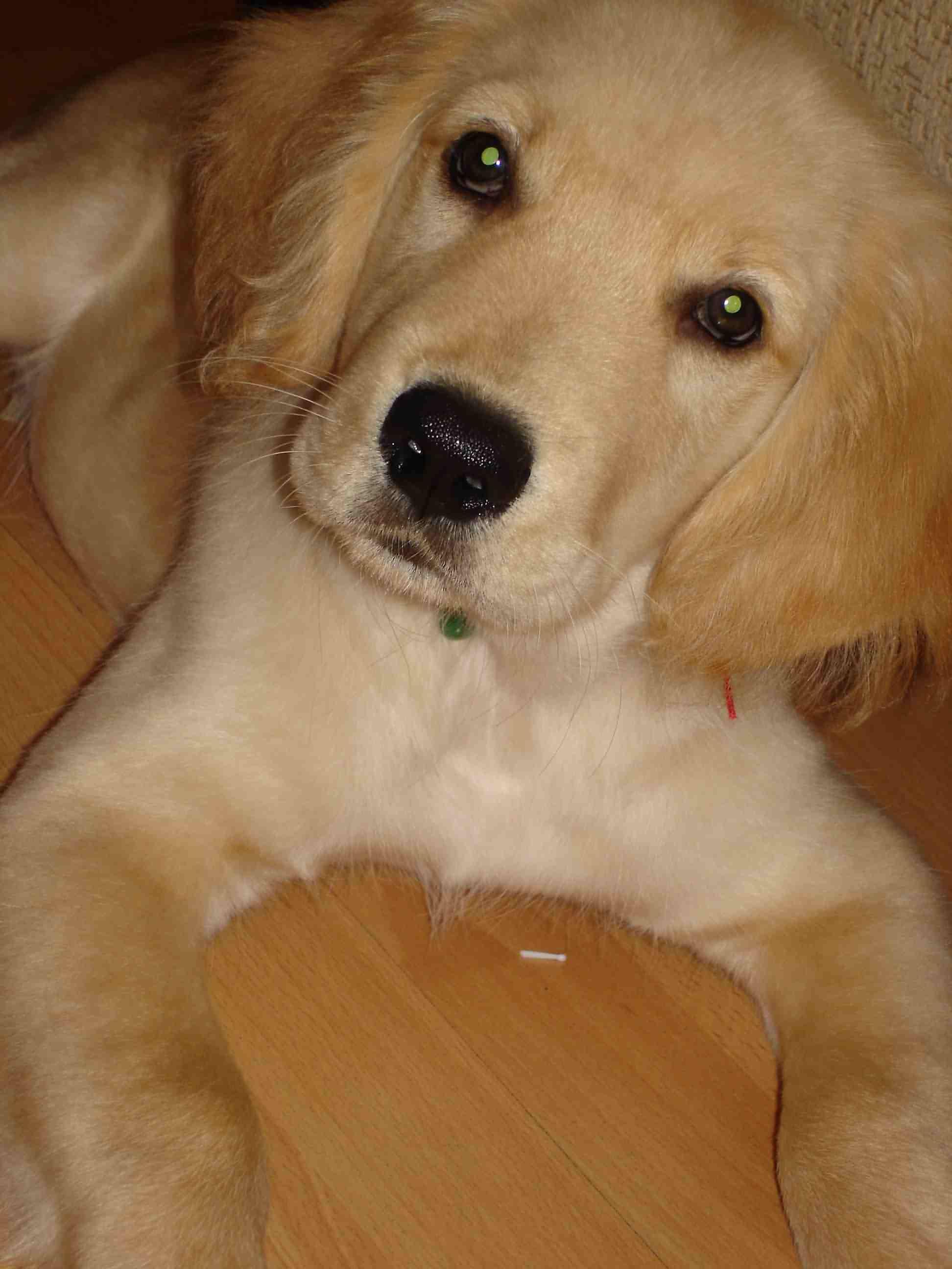 5个月金毛犬图片_谁有金毛犬qq头像,就是人物和金毛犬的自拍头像之类。最好是个 ...